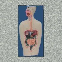 Human Digestive System Anatomy Model