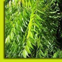 Neem Leaves, नीम के पत्ते | Bihani Group Of