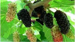 Potassium Polyacrylate For Mulberry Trees