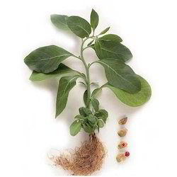 Ashwagandha Extract at Best Price in India