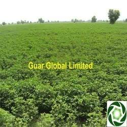Guar Gum Cultivation