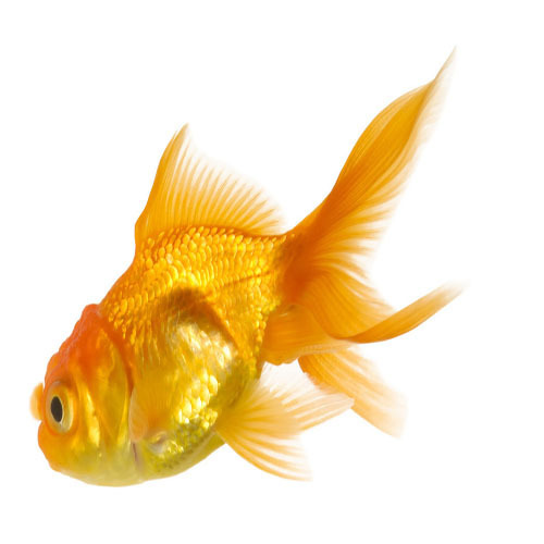 Gold Fishes - Wholesale Price for Gold Fishes in India