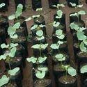 Polybag Seeds