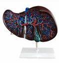 Liver Models