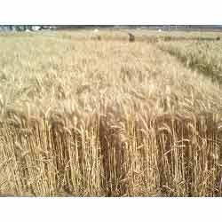 Wheat Seeds for sowing Notified Variety
