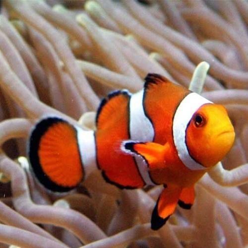 Clown Fish - Wholesale Price & Mandi Rate for Clown Fish