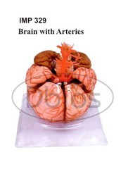 Human Brain Model With Arteries Model