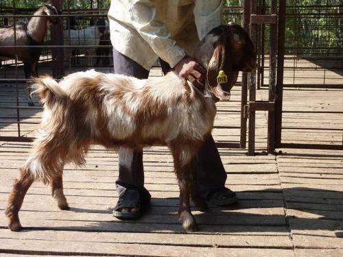Damascus Goat Service Provider from Phaltan