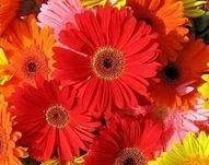Gerbera Flowers At Rs 50 Piece Gerbera Daisy Plant Id 4255012988