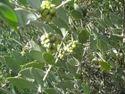 Simmondsia Chinensis (jojoba) Leaf, Na