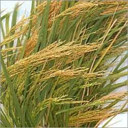 Hybrid Paddy Seed