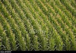 Great Maize