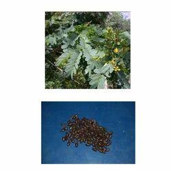 Caesalpinia Ferrea Seed
