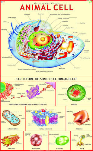 Animal Cell - Science Charts, विज्ञान का चार्ट, विज्ञान के ...