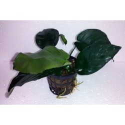 Anubias Sp. Butterfly