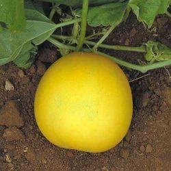 Cucumber Yellow Round