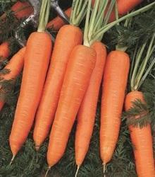 Carrot Seeds in Delhi