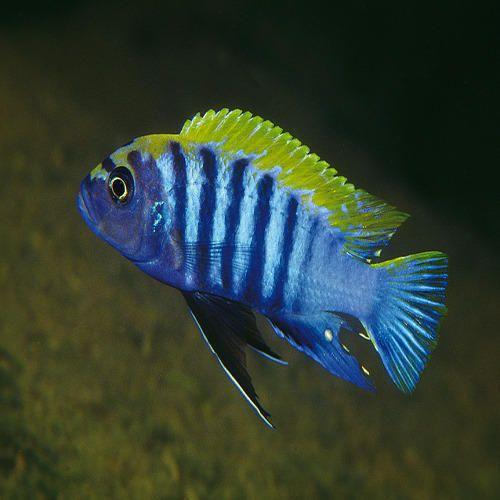 Cichlid - Wholesale Price & Mandi Rate for Cichlid Fish