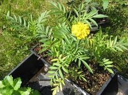 Cut Flower Seedlings Marigold Seedlings Manufacturer From Pune