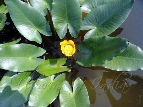 Yellow pond lily natural and pure herbs flowers of india green yellow pond lily mightylinksfo