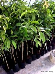 Mango Grafted Saplings  Fruit Plant