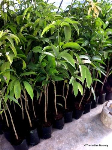 Fruit Plants Mango Grafted Saplings
